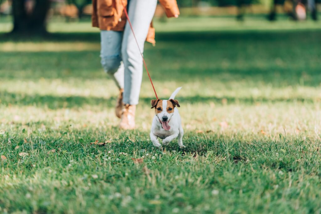 Selective focus of jack russell terrier running near woman on grass